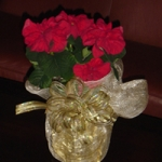 Rose poinsettia in a special wrap