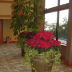 Poinsettia arrangement with fresh ivy