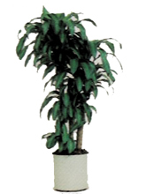 Corn Plant (cane form) Dracaena fragrans