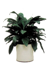 Peace Lily Spathiphyllum Mauna