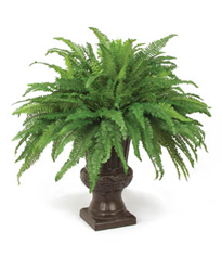 42 inch Giant Parlor Fern