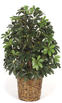 3.5 foot Baby Schefflera Bush