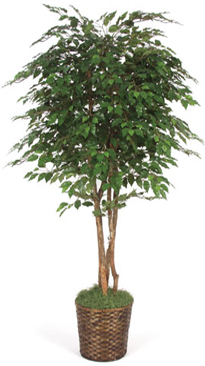 6.5 Foot Ficus Tree