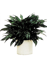 "Chinese Evergreen ""Maria"" Aglaonema 'Maria'"