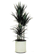 Dragon Tree (Straight Form) Dracaena marginata